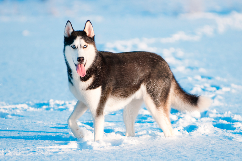 Husky-Siberiano-en-la-nieve