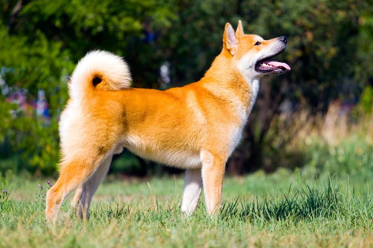 Perro-de-raza-Akita-Inu