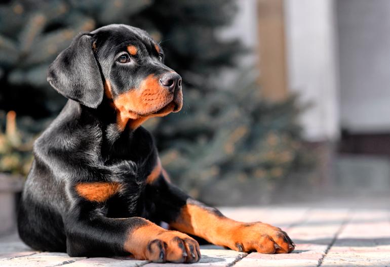cachorro-de-perro-doberman