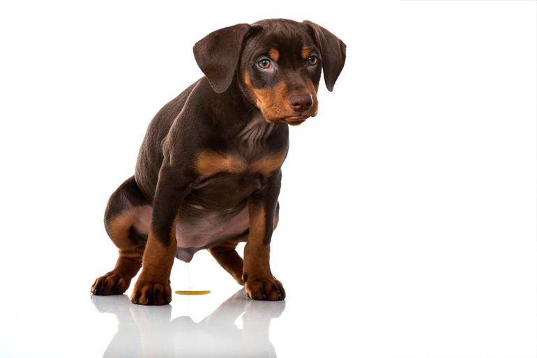 cachorro-orinando