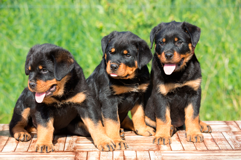 cachorros-de-raza-rottweiler