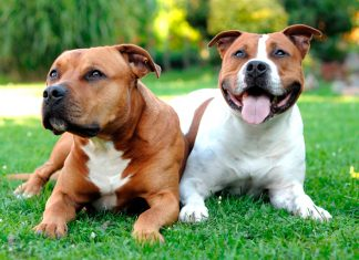 dos-American-Staffordshire-Terrier-tumbados