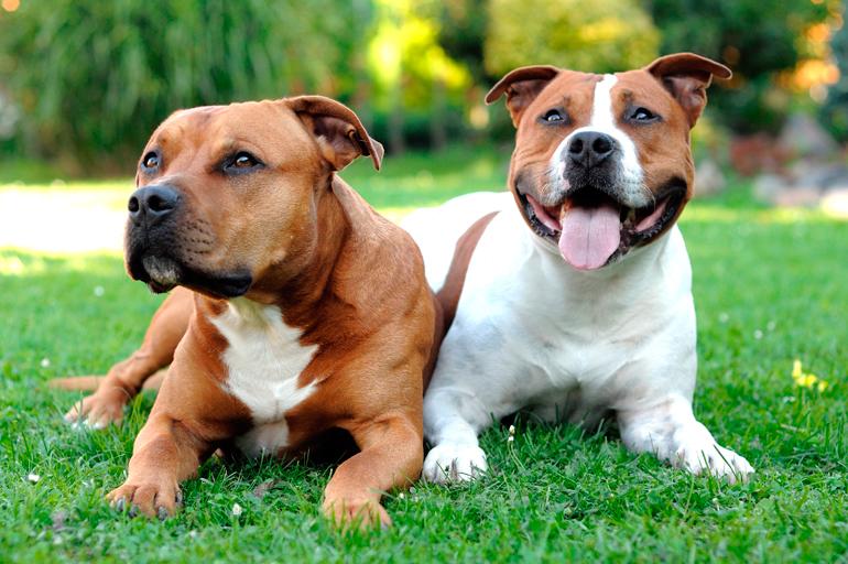 American Staffordshire Terrier : TODO sobre la raza