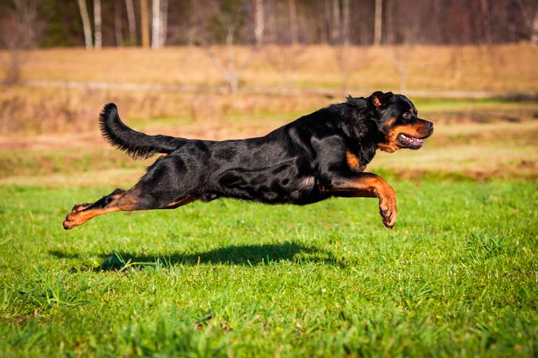 entrenamiento-de-un-perro-rottweiler