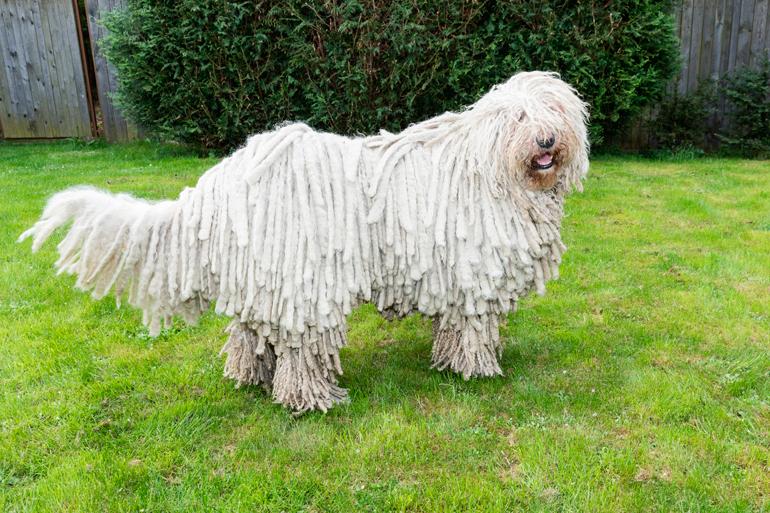 perro-de-raza-komodor