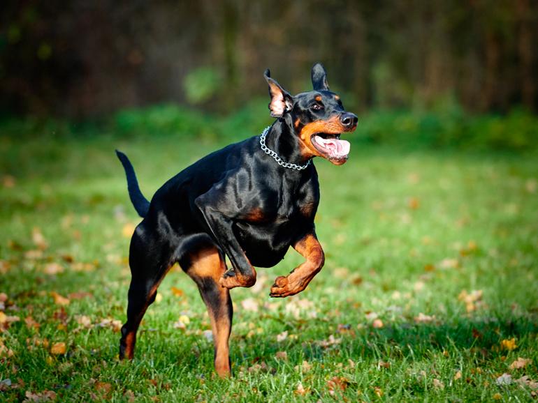 perro-doberman-corriendo