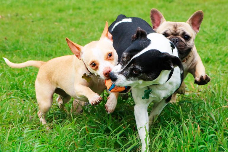 perros-jugando-con-pelota