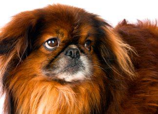raza-de-perro-pekines-caracteristicas