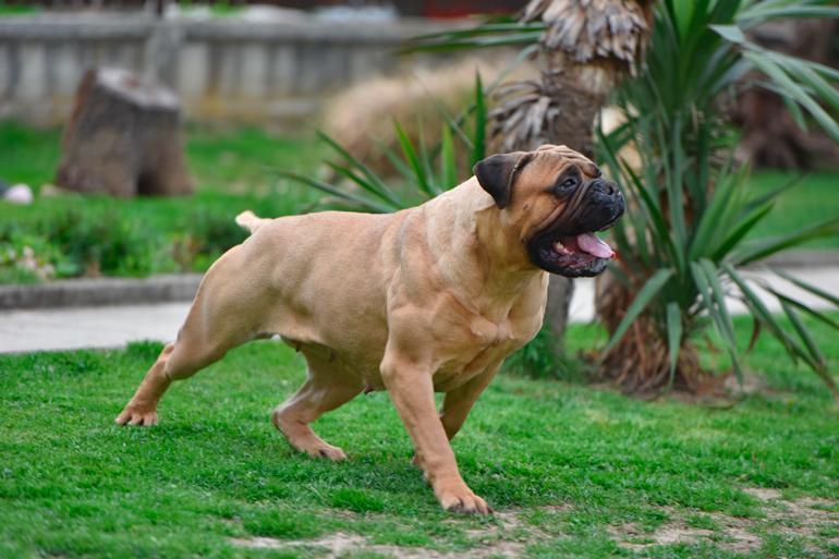bull-mastif-corriendo-despues-de-comer