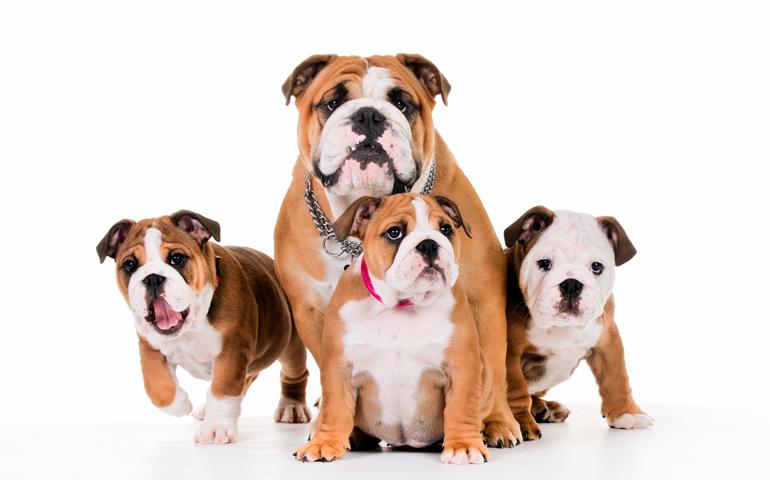 cachorros-de-bulldog-inglés