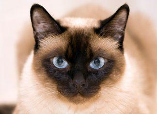 gato-de-raza-siamés