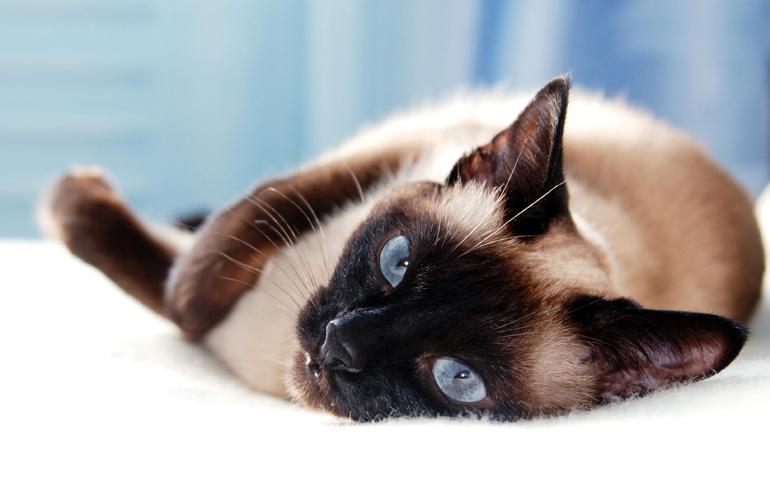 gato-siamés-ronroneando