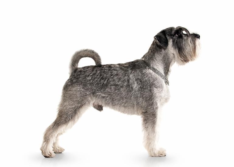 Características-físicas-deu-n-perro-schnauzer