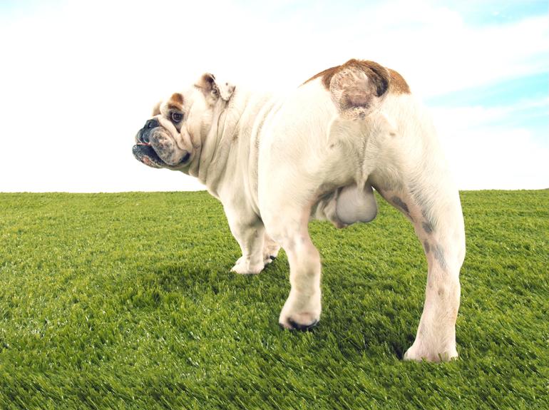 Perro-sin-castrar