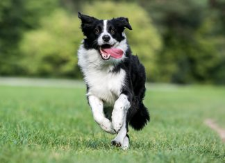 border-collie-corriendo