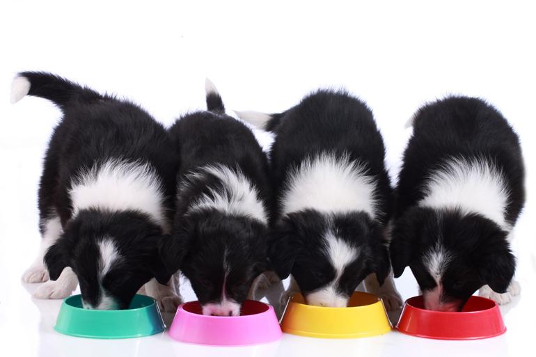 cachorros-de-border-collie-comiendo