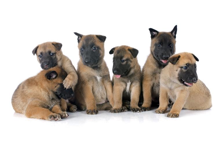 cachorros-de-pastor-belga