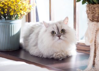 carácter-del-gato-persa-hogareño