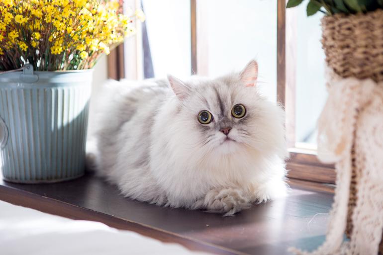 El Gato Persa Todo Lo Que Necesitas Saber Sobre La Raza