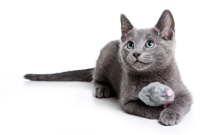características-del-gato-azul-ruso