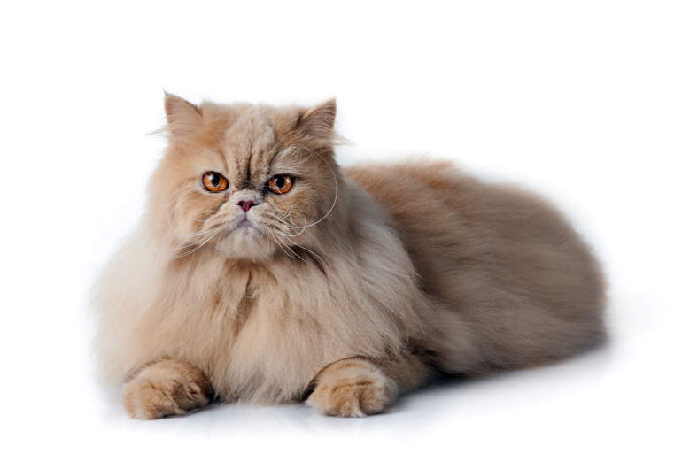 características-del-gato-persa