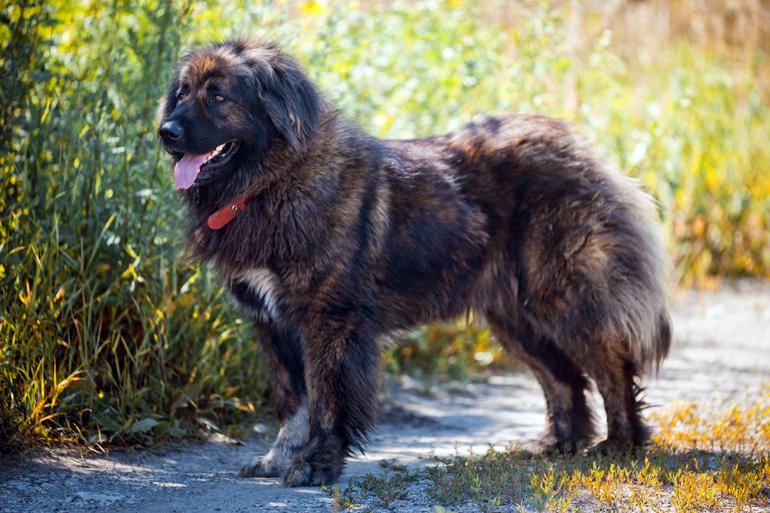 características-del-perro-pastor-del-cáucaso