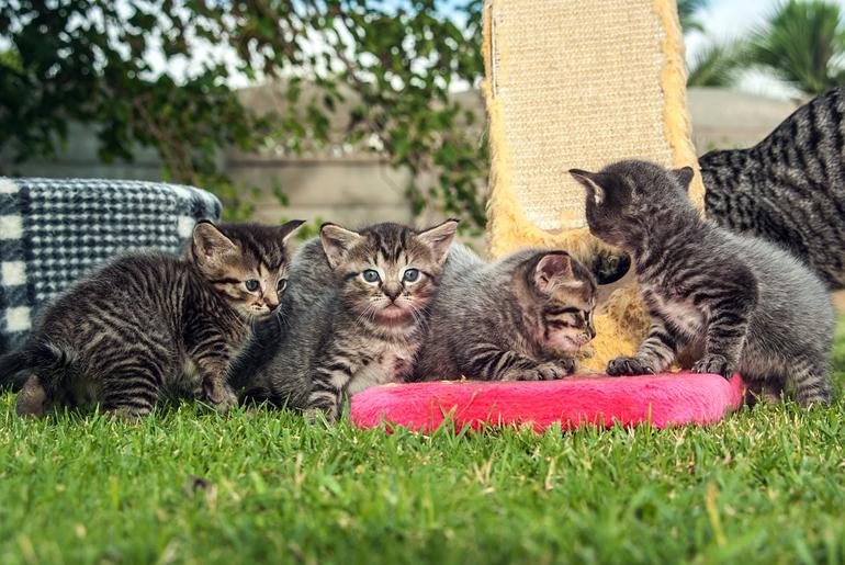 gatitos-con-rascador-vertical