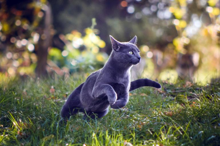 gato-azul-ruso-corriendo-mientras-casa