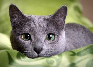 gato-azul-ruso-tumbado