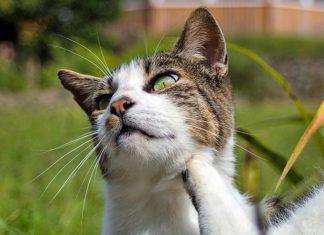 gato-con-pulgas