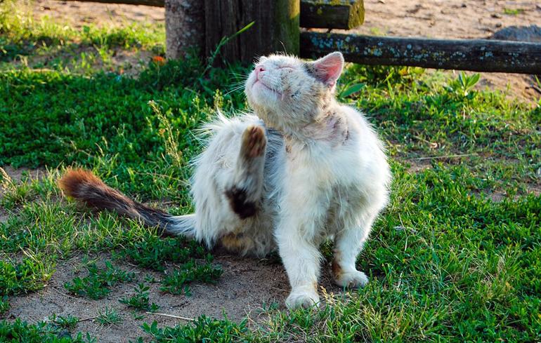 gato-con-pulgas-rascandose