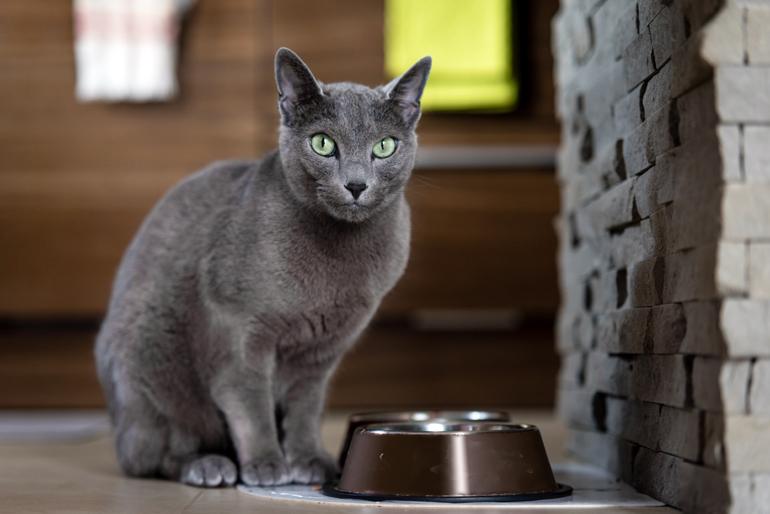 gato-de-raza-azul-ruso-comiendo