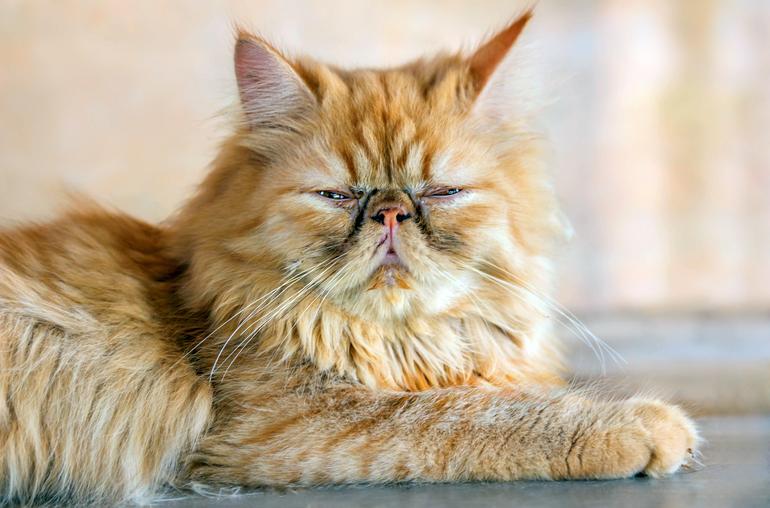 gato-persa-recién-despertado