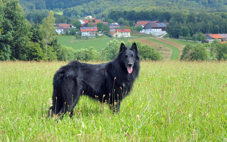 pastor-belga-de-pelo-negro