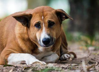 perro-con-hipotiroidismo