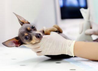 perro-con-parásitos-intestinales-en-clínica-veterinaria