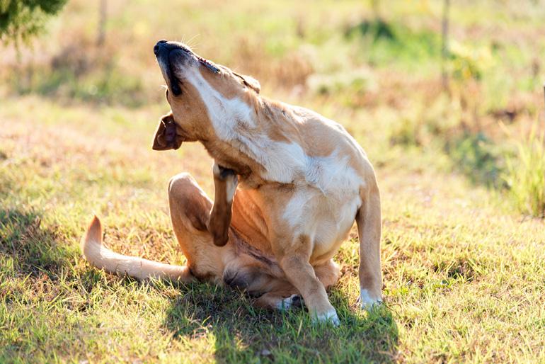 perro-con-pulgas-rascandose