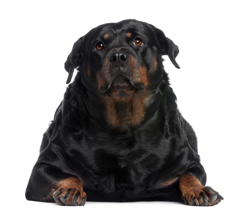 perro-con-sobrepeso-por-hipotiroidismo