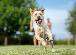 perro-de-raza-grande-corriendo