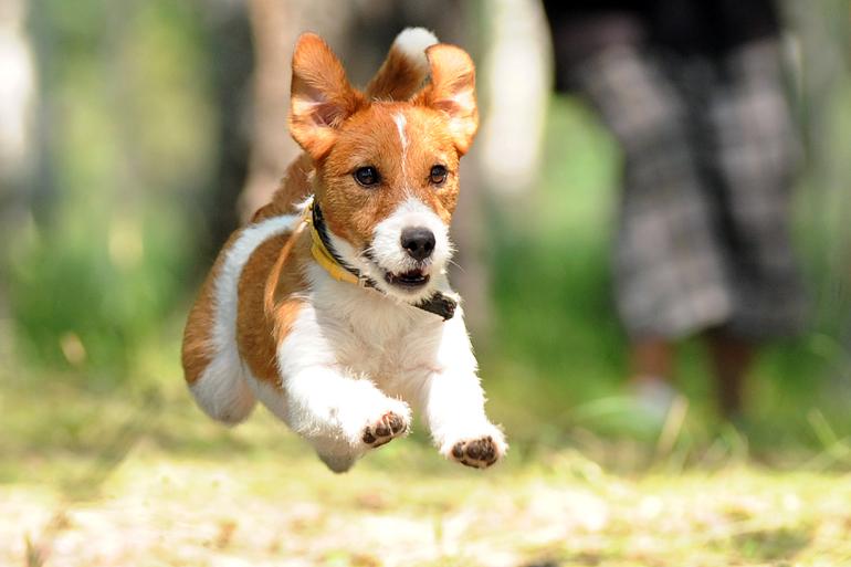 perro-en-celo-escapando-de-casa