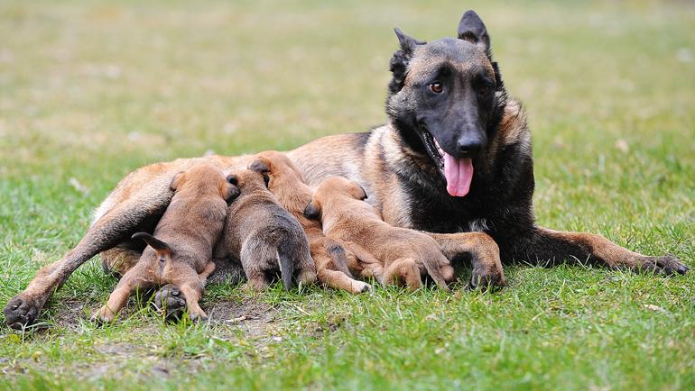 perro-pastor-belga-amamantando-a-sus-cachorros