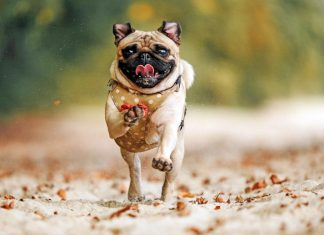 perro-pug-corriendo