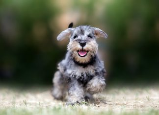 perro-schnauzer-corriendo