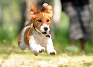 Jack-Russell-corriendo