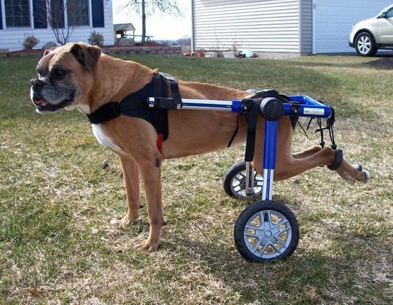 boxer-en-silla-de-ruedas
