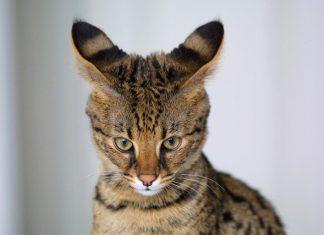 cabeza-del-gato-savannah