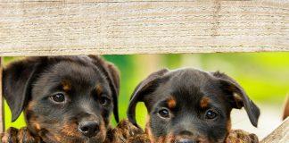 cachorros-de-rotweiler-esperando-nombre
