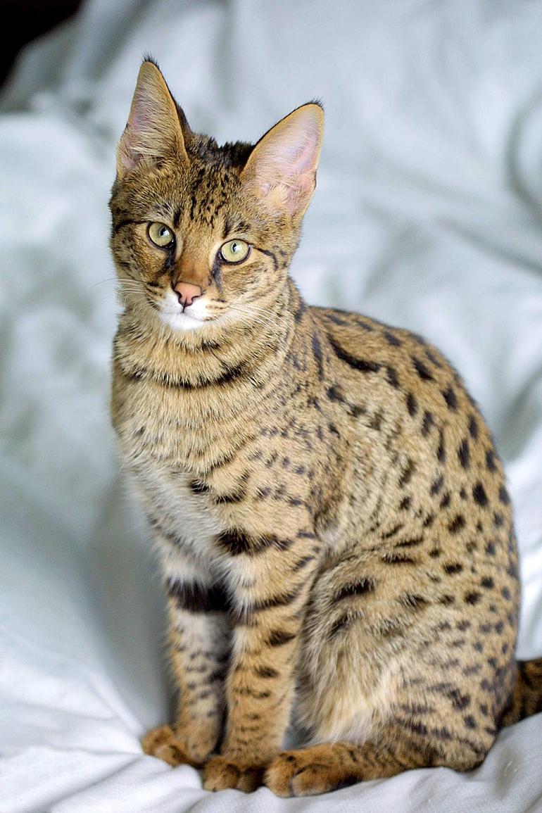 caracteristicas-del-gato-savannah