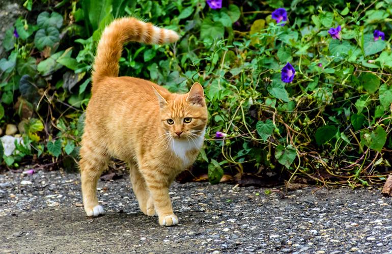 gato-atigrado-naranja-en-alerta