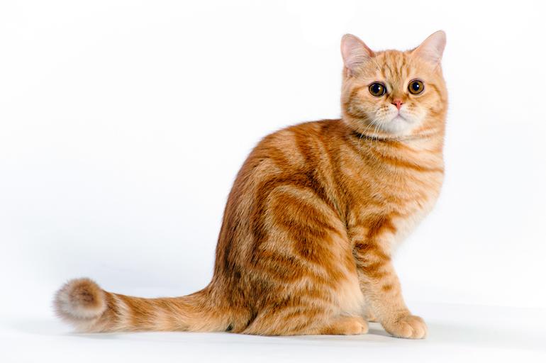 patron-de-color-naranja-atigrado-en-un-gato